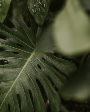 Close up of green split leaf philodendron