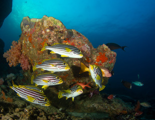 Wall Mural - Oriental Sweetlips fish on coral reef in the Similan Islands, Thailand