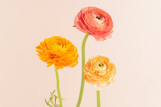 Blooming ranunculus flowers