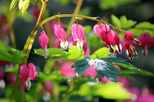 Pink Bleeding Hearts Blooming Outdoors
