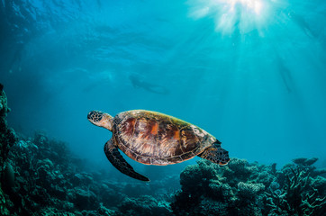 Green turtle swimming around in the wild among colorful coral reef