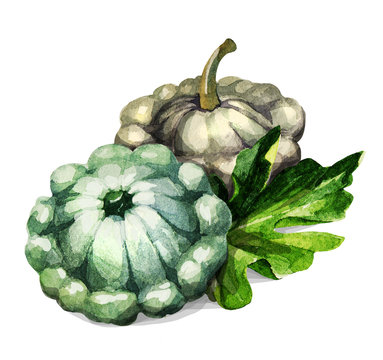Pattypan squash. Hand drawing-watercolor on white background. It can be used for decoration of cards, stickers, encyclopedias, menus.