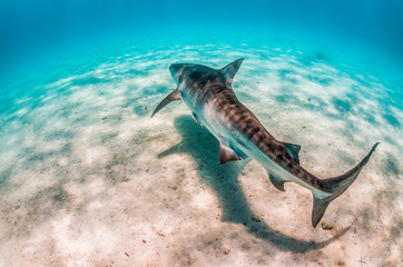 Tiger shark swimming over sandy sea bed