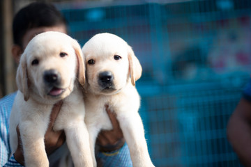 Two cute Labrador puppies are displayed for sale in a street shop in a pet market in Kolkata. Papier Peint