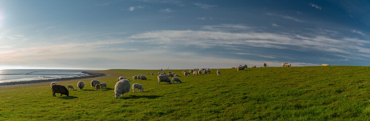 Fotobehang Noord Europa Panoramic view of sheep and lambs on a dike in the sun at the North Sea, Westerdeichstrich, Büsum, Schleswig-Holstein, Germany, flock of sheep with lamb in field or dike, wool on the hoof