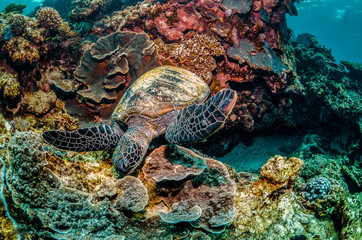 Green turtle swimming in the wild among colorful hard corals Wall mural