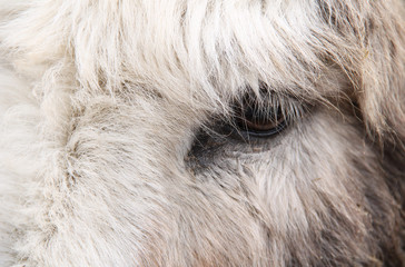 close photo of an eye of a fluffy donkey