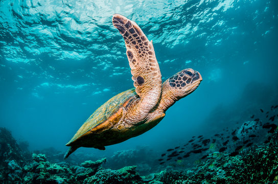 Green sea turtle swimming around colorful coral reef formations in the wild