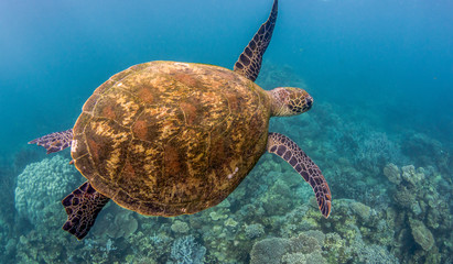 Photo sur Plexiglas Tortue Green sea turtle swimming among colorful coral reef in beautiful clear water