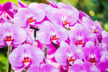 Wall Mural - Beautiful Phalaenopsis Orchid flower blooming in garden floral background