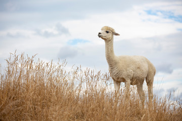 llama standing in the grass