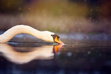 Photo sur Toile Cygne Swan - wildlife in its natural habitat