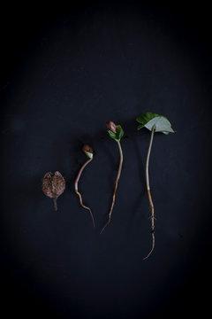 Beech Seedling