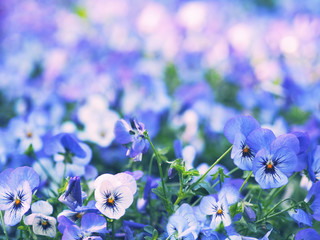 Wall Mural - Close up purple pansy flowers field