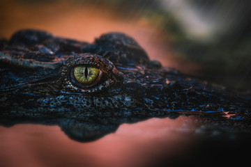 Papiers peints Crocodile Close up - crocodile or alligator eyes.