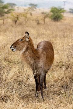 white-tailed deer VIII