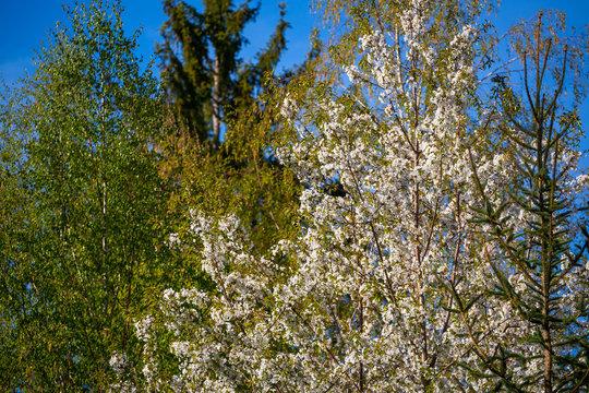 Vogelkirschblüte (Prunus avium) im Frühlingswald / Vogelkirsche (Standort: BaWü, Deutschland) | wild cherry tree (Prunus avium) blossom in the spring  forest (Germany)
