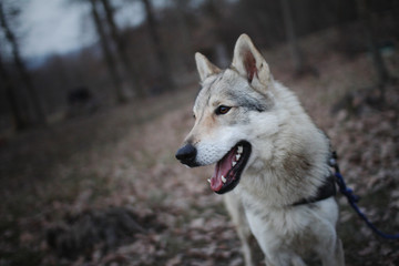 Czechoslovakian wolf in nature