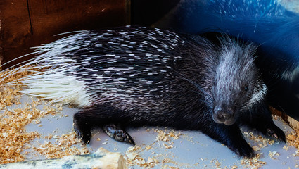 Cute porcupine lying posing in front of the camera.