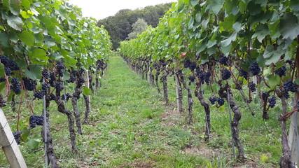 Photo sur Aluminium Olive winery