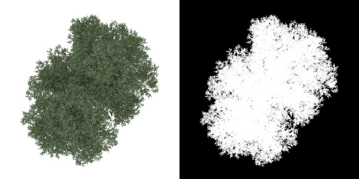 Top view of tree (Tilia) png with alpha channel to cutout 3D rendering