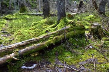 Obraz Bialowieski Park Narodowy, Puszcza Bialowieska, Park wpisany na liste Swiatowego Dziedzictwa UNESCO, swiatowy rezerwat biosfery, rezerwat w Polsce, najstarszy park narodowy  - fototapety do salonu