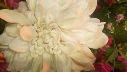 Fotobehang Close-up Of White Dahlia