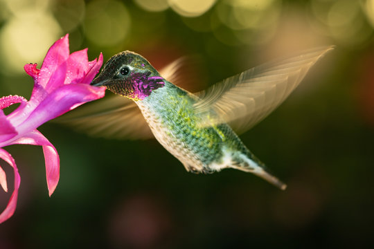 Male hummingbird with colorful feather visiting the pink flower