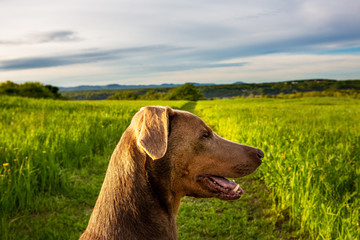 Head of a fawn color Doberman dog in a green field