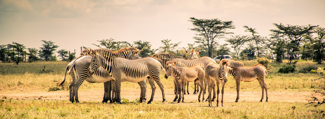 Stores photo Antilope Endangered Grevy's zebra