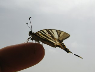 Fototapeta Cropped Hand Holding Scarce Swallowtail Against Sky
