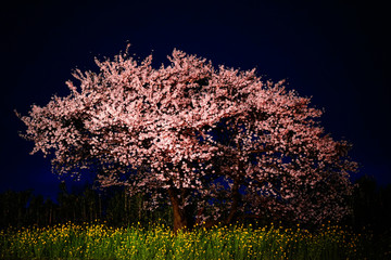 Cherry Blossoms On Field At Night