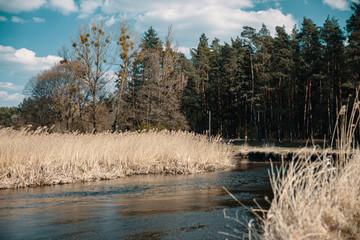 Zakole rzeki płynącej przez pole zboża przy sosnowym lesie