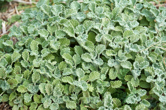Close-up Macro of Horehound plant growing in Texas. Green background pattern