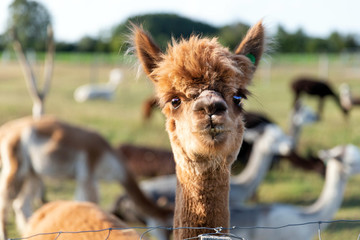 Fototapete - Cute alpaca on the farm