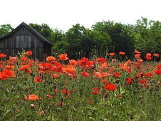 Canvas Prints Poppy Red Poppy Flowers Growing In Field