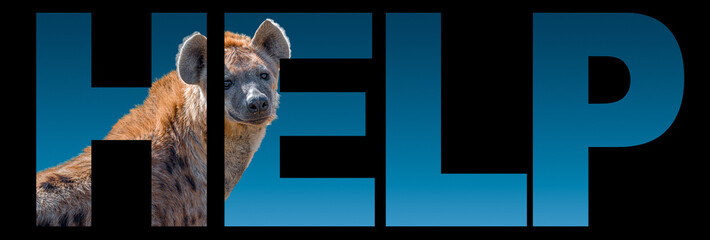Banner with portrait of African wildlife, huge spotted hyena at blue gradient background with bold text help, closeup, details