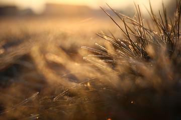 Oszronione źdźbła trawy na tle wschodzącego słońca