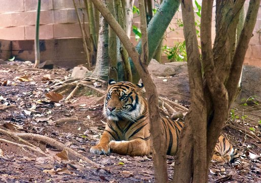 Tiger Sitting On Ground