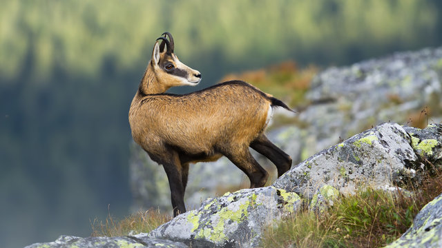 Alert tatra chamois, rupicapra rupicapra tatrica, standing on rocky horizon in mountains and looking behind. Agile wild mammal with brown fur and curved horns in summer nature in high altitude.