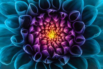 Obraz Kolorowy kwiat chryzantemy - fototapety do salonu