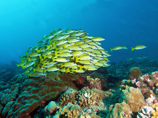 School of fish, Bluestripe Snapper at a coral reef in Palau, Micronesia