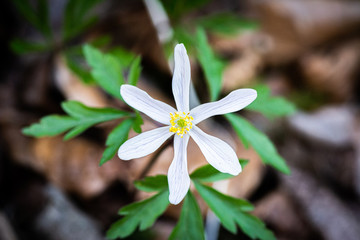 Anemone in the woods in spring