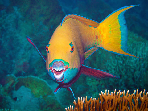 This parrotfish asks the underwater photographer for a portrait. I took this photo during a dive in the Northern Red Sea in Egypt.
