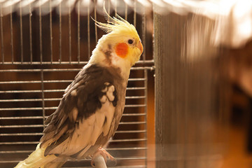 Portrait of parrot corella in the cage Fototapete
