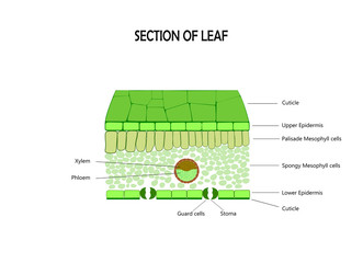 Cross section of leaf , diagram of structure