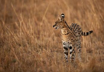 Wall Mural - Serval Wild Cat in Masai Mara grassland