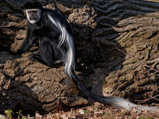 The mantled guereza, Colobus guereza, is a black-and-white colobus, a type of Old World monkey.