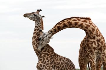 Wall Mural - Giraffe making love, Masai Mara