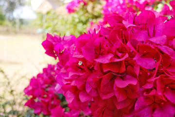 Bougainvillea on garden background.Large flowering spreading shrub of pink Bougainvillea (paper flower) tropical flower climber vine landscape plant isolated on green garden background.Close up.